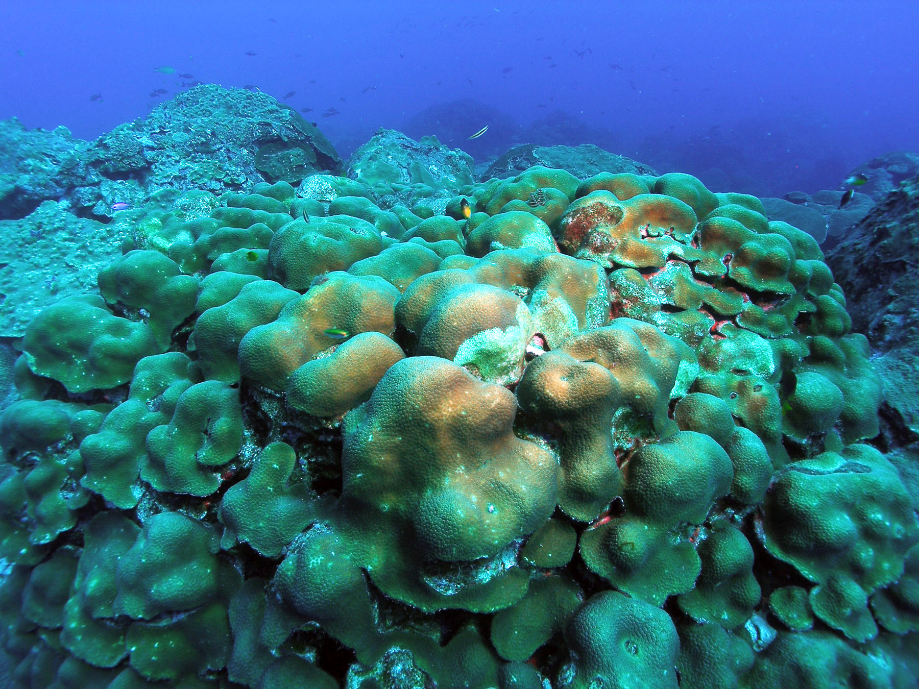 Endangered Corals Sailors For The Sea