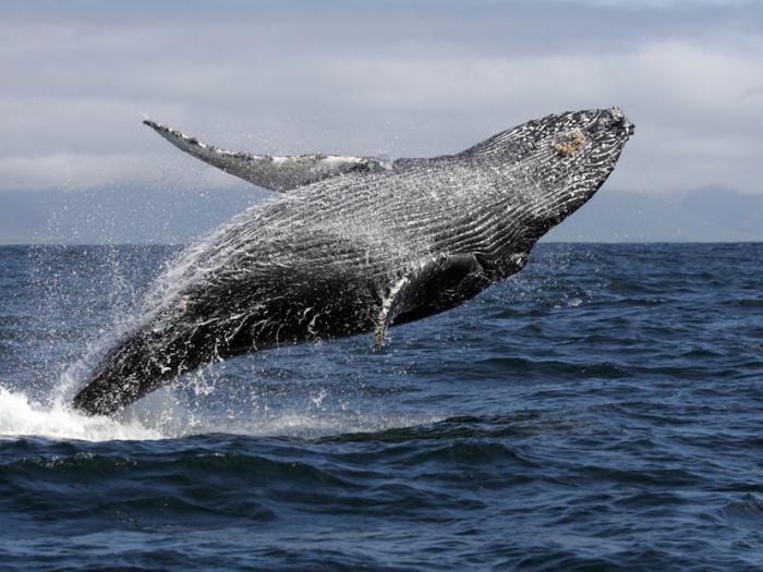 humpback whale, breaching, whale