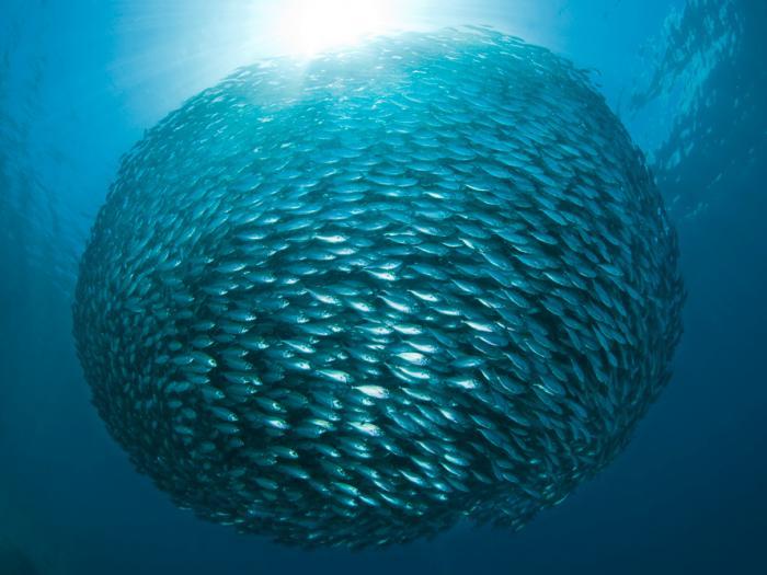 Yellowstripe Scad, baitfish ball, school of fish, ball of fish, Dampier Strait, Raja Ampat Islands, Indonesia, The Coral Triangle