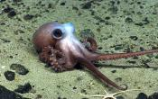 Physalia Seamount, Coral Canyons, Seamounts, Octopus, baby octopus, marine protected area, climate change, NOAA