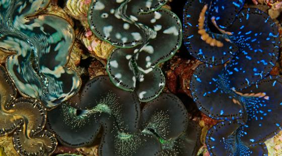 Giant Clam in the Pacific Remote Islands Marine National Monument
