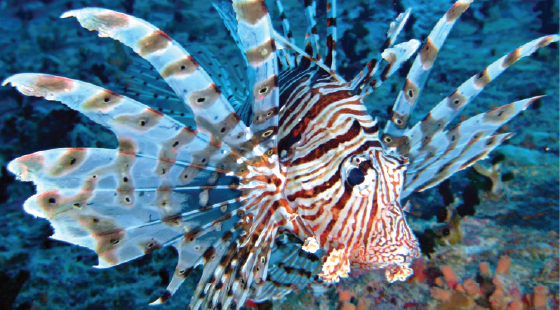 invasive species, lion fish, coral reefs