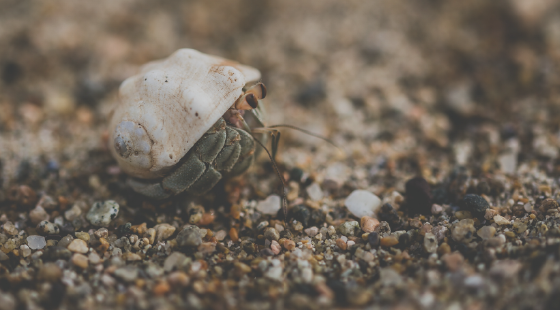 hermit crab, shell