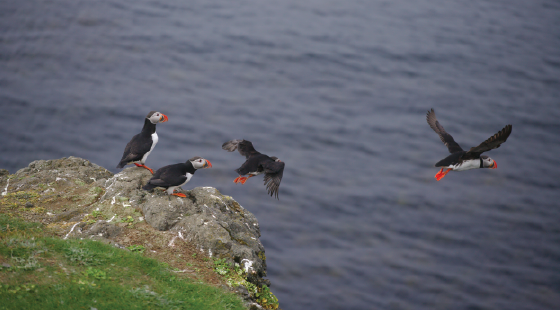 bird watching, puffins, seabirds