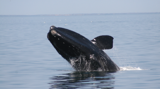 whale, right whale, endangered