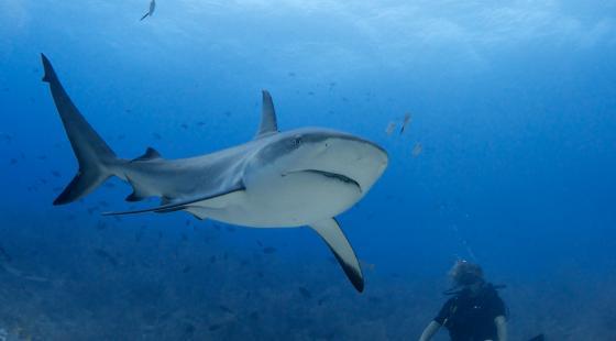 Sharks, kill, humans kill 73 million sharks per year for just their fins, shark diving, shark finning