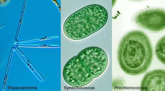 Thalassionema, Synechococcus, and Prochlorococcus