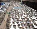 shark finning, shark fins drying on rack,