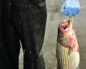 fish, fisheries, striper