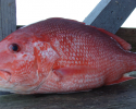 fish, fisheries, snapper