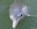 Sousa chinensis, Indo-pacific Humpback Dolphin, Chinese White Dolphin, Pink Dolphin