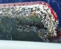 gooseneck barnacles, capsized dinghy, Pacific gyre, plastic pollution, marine debris