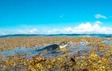 Caribbean, seaweed, invasion, Sargassum, sea education association, seaweed mats, seaweed drifts, Caribbean too much seaweed, sea turtle in seaweed, sea turtle harmed by seaweed