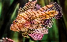 lionfish, invasion, why are lionfish bad, invasive species, lionfish invasive, lionfish invasion
