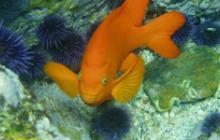 national marine sanctuaries, noaa, garabaldi